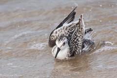 Sanderling Bath Time (stephaniepluscht) Tags: alabama 2016 fort morgan state historic site wave sanderling bath time splash