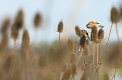 Chardonneret lgant (kingfisher001) Tags: passriformes baie de somme fringillids chardonneret lgant picardie france oiseaux chardon graine