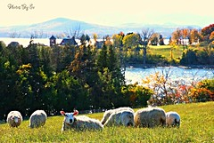 Grazing By The Lake (Eyes Open To Life) Tags: sheep autumn fall lake mountains pastures grazing fields farming herd