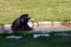 Weißopfseeadler Atlanta (Gina Biernath) Tags: weiskopfseeadler baldeagle haliaeetusleucocephalus adler eagle seeadler greifvogel bird vogel tier tierfotografie naturfotografie wasser schwimmen birdofprey bayerischerjagdfalkenhof wildparkschlosstambach falknerei wow