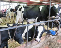 Dairy Farm (Hear and Their) Tags: dairy farm cow milk essex county ontario holstein jersey