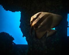 FLA-161001-ND800-8167 (ferlopez) Tags: batfish fish longfinbatfish marinelife plataxteira spadefish underwaterphotography wailea mauihawaii usa