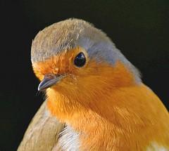 Robin Portrait (Pam P Photos) Tags: robin portrait