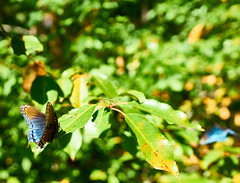 butterfly (makethat_fixthis) Tags: butterfly nature outdoor amazing iridescent
