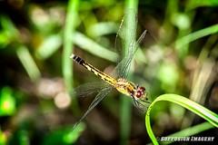 09-20-2015_16.39.19--D700-10-device-2000-wm (iSuffusion) Tags: d700 tampa tokina100mm28macro dragonfly florida insects macro nikon gibsonton unitedstates us