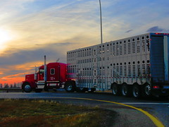 Copperfield Farms (jr-transport) Tags: kenworth w900l w9 w900 custom farm cattle pot sunset
