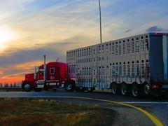 Copperfield Farms (jr-transport) Tags: kenworth w900l w9 w900 custom farm cattle pot sunset