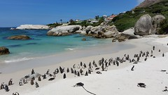 African penguins in Simons Town (ahaswerus) Tags: africa afryka rsa rpa southafrica penguin