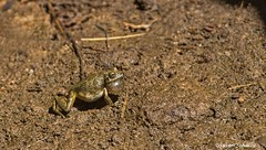 A desert dwelling frog (Photosuze) Tags: frogs amphibians treefrogs calling animals wildlife nature