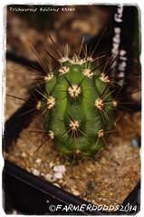 Trichocereus fulvilanus KK1419 [Taltal 400m] (farmer dodds) Tags: cactus cactaceae seedlings mescaline echinopsis trichocereus taltal trichocereusfulvilanuskk1419 trichocereusfulvilanus