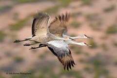 Sandhill Cranes (Julio Bulnes Photo) Tags: new del mexico apache cranes bosque sandhill