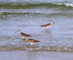 2011_05_Padre_Beach_Wildlife_5 (Jared625) Tags: beach birds sandpiper padreisland padreislandnationalseashore