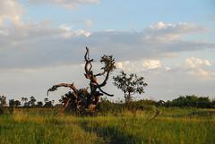 tree (evlamp) Tags: africa color nature digital botswana nikond80 nikkor18200mmf3556vr