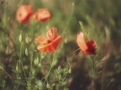 Summer meadow (kinga.lubawa) Tags: colors canon sommer sensual m42 pentacon kwiaty 6d kwiat kolory lato kolorowe soneczny sonecznie