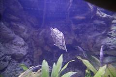 Amazon Leaffish (cmlburnett) Tags: fish aquarium leaf amazon pittsburgh pennsylvania pittsburghzoo ppg leaffish ppgaquarium pittsburghpennsylvania polyacanthus monocirrhus monocirrhuspolyacanthus amazonleaffish
