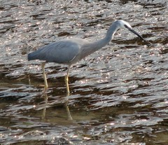 A grey Heron (pat.bluey) Tags: birds ngc australia newsouthwales 1001nights littlelake warilla 1001nightsmagiccity