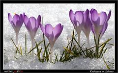 02-15 2952_MAIL (werner_austria) Tags: snow spring krokus frhling ruby15 ruby20