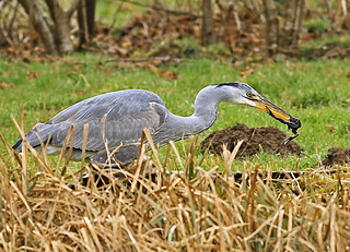 Grey Heron and Frog 2-  Please Release Me Let Me Go !!