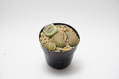 Lithop (reality_velo) Tags: succulent lithops succulents lithop
