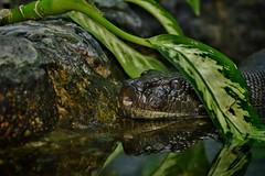Reflection of a Green Anaconda (Eunectes murinus)_DSC0177 (ikerekes81) Tags: reflection green zoo washingtondc dc reptile snake anaconda nationalzoo dczoo smithsoniannationalzoologicalpark eunectesmurinus washingtondczoo greenanaconda