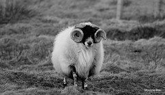 Curly Ram Horns (mootzie) Tags: winter grass horns lewis curly croft wooly ram ness