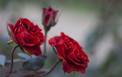 rose family (prabhjitk) Tags: family flowers red roses blur flower macro nature rose closeup colorful backgroud