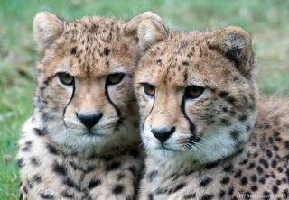 Jonge Jachtluipaarden   (Cheetahs)