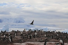 141214 Skua Flying over Penguin Colony (BY Chu) Tags: antarctica gentoopenguin cuvervilleisland antarcticaxxi