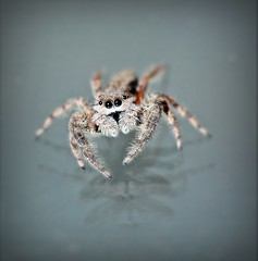Jumping Spider (Sue90ca Glorious Autumn) Tags: canon bug insect spider jumping 60d