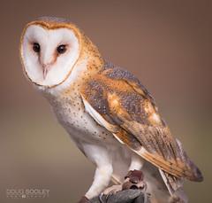 Barn Owl (dougsooley) Tags: bird birds canon sandiego sigma owl barnowl sigmalens sigmalenses sigma120300mm ramonagrasslands ramonagrasslandspreserve canon1dx dougsooley