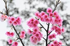 寒櫻 Cherry blossoms (愚夫.chan) Tags: taiwan cherryblossoms 陽明山 臺灣 台北市 2015 寒櫻 平菁街42巷