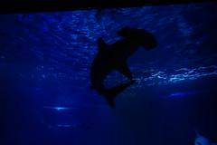 Requin marteau (3) (Mhln) Tags: paris aquarium requin poisson trocadero poissons meduse 2015 cineaqua