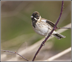 Reed Bunting (CliveDodd) Tags: reed bunting emberiza schoeniclus