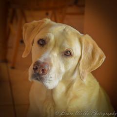 Sam [Explored] (Arizphotodude) Tags: dog pets yellowlab rip labradorretriever