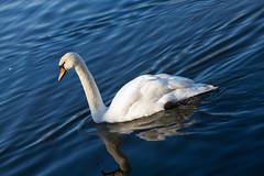 Roath Park 9th Feb 2015 013 (jasondunn2014) Tags: blue white lake bird water beautiful birds proud canon swan royal waterbird 7d graceful