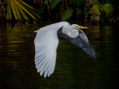 Great Egret (ashockenberry) Tags: