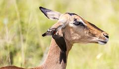 Let me whisper in your ear (Sheldrickfalls) Tags: southafrica impala krugernationalpark mpumalanga krugerpark kruger oxpecker redbilledoxpecker buphaguserythrorhynchus