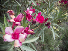 Flores fucsia (~ToriRoderic) Tags: flowers flores macro green fucsia