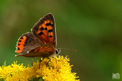 small copper (basteluwe) Tags: macro nature butterfly insect insekt schmetterling