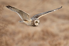 Short-eared owl 2015.2.12 (15) (double-h) Tags: bird yodogawa   shortearedowl asioflammeus yodoriver  minase  extenderef2xiii ef300mmf28lisiiusm eos7dmarkii  shimamototown