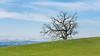 A Solo Tree (harminder dhesi photography) Tags: california park winter sky tree green nature clouds canon landscape outdoors rebel view hiking sonoma adobe bayarea fields sonomacounty norcal cranecreek lightroom northbay 16x9 lr3 rohnertpark regionalpark rebelxs