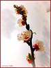 """""""Un avant goût de printemps"""" - """" A front spring taste """" (Corinne DEFER - DoubleCo) Tags: france flower nature fleur flor 花 nuage fiore botanique nuageux végétal abricotier corinnedefer updatecollection"""