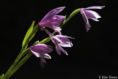Rose Pogonia Orchid (Pogonia ophioglossoides) (Kim Toews Photography) Tags: plant orchid flower blackbackground flora outdoor blossoms rosepogonia