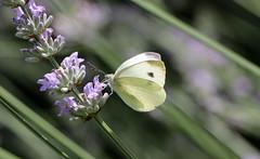 Schmetterling , Kohlweiling , NGID1667641910 (naturgucker.de) Tags: nauheim naturguckerde ngid1667641910 cbettinahrr
