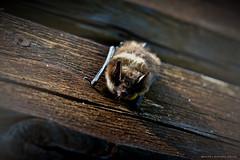 Mr: Bat (MIKAEL82KARLSSON) Tags: fladdermus bat sverige sweden sony rx10 mikael82karlsson
