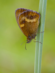 Gatekeeper Pyronia tithonus (Ivan Lynas Nature Photography) Tags: