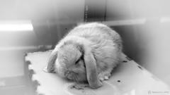 A little cute bunny (France) 2016 ('Yannewvision') Tags: cameraphone blackandwhite bw france cute rabbit bunny frankreich pretty noiretblanc conejo cellphone carrot lovely francia lapin kaninchen  mignon zanahoria karotte kawai carotte 2016    lapinou enblancoynegro kawa  schwarzundweis yannewvision sonyxperiaz1