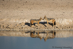 034-Etosha_046 copy (Beverly Houwing) Tags: africa reflection desert pair safari namibia greet wateringhole blackbackedjackal etoshanationalpark