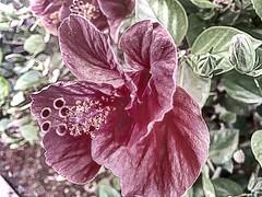 Zen (Lorybusin) Tags: ibisco petals petali flora natura naturaleza nature fiori flores flowers