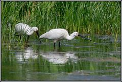 Spoonbills (Leorah91) Tags: bird nature netherlands birds nederland vogels natuur vogel spoonbills spoonbill lepelaar lepelaars groenzoom